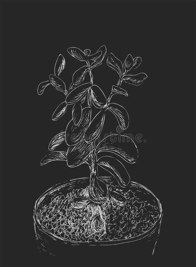 Συρμένο χέρι σκίτσο Succulent Ovata Crassula εγκαταστάσεων σπιτιών διανυσματική απεικόνιση