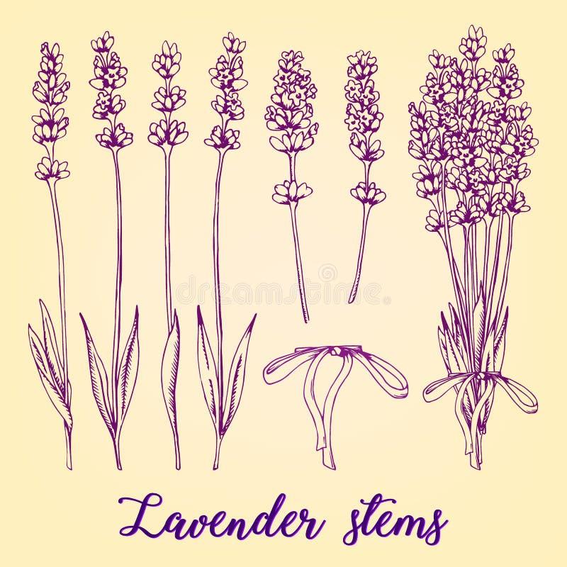 Συρμένο χέρι σύνολο διαφορετικών lavender μίσχων και ανθοδέσμης Ρεαλιστικό διανυσματικό σκίτσο με το οργανικό χορτάρι καλλυντικών διανυσματική απεικόνιση