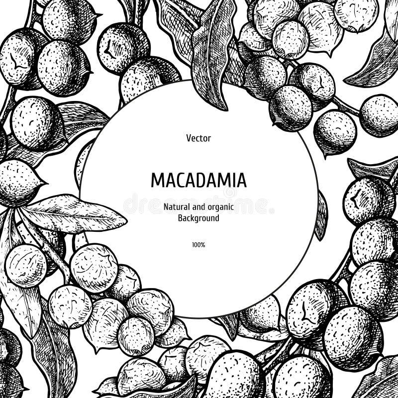 Συρμένο χέρι υπόβαθρο με macadamia το καρύδι Εκλεκτής ποιότητας διανυσματικό σκίτσο ελεύθερη απεικόνιση δικαιώματος