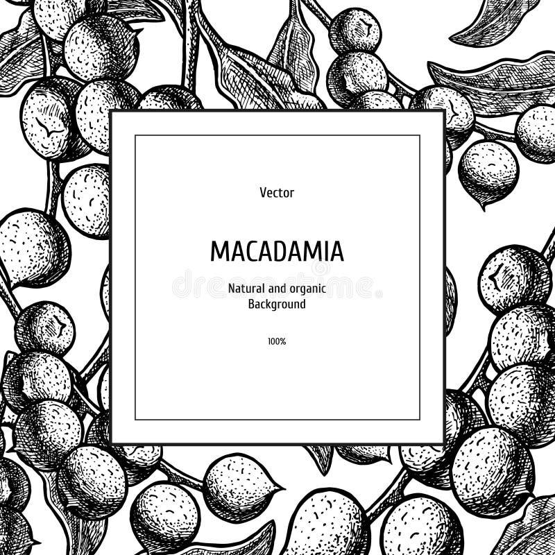 Συρμένο χέρι υπόβαθρο με macadamia το καρύδι Εκλεκτής ποιότητας διανυσματικό σκίτσο διανυσματική απεικόνιση