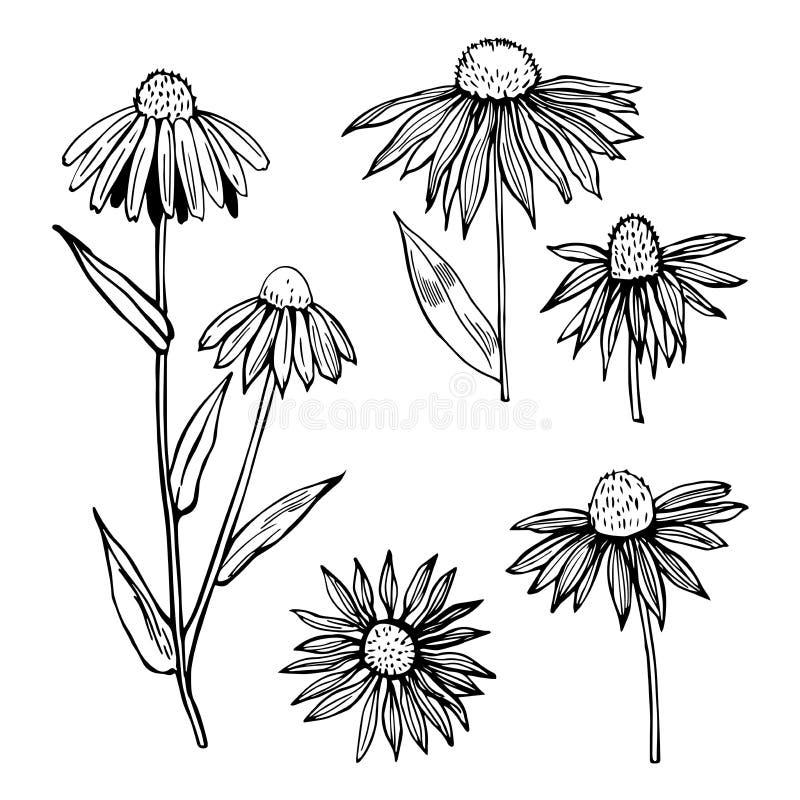 Συρμένο χέρι Echinacea χορτάρια ιατρικά απεικόνιση αποθεμάτων
