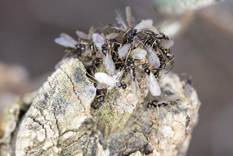 Συρρέοντας μυρμήγκια πεζοδρομίων στοκ φωτογραφία με δικαίωμα ελεύθερης χρήσης