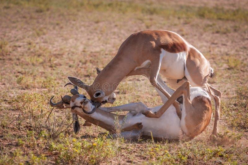 Συσκευασμένη δράση πάλη των κριών αντιδορκάδων στοκ εικόνες