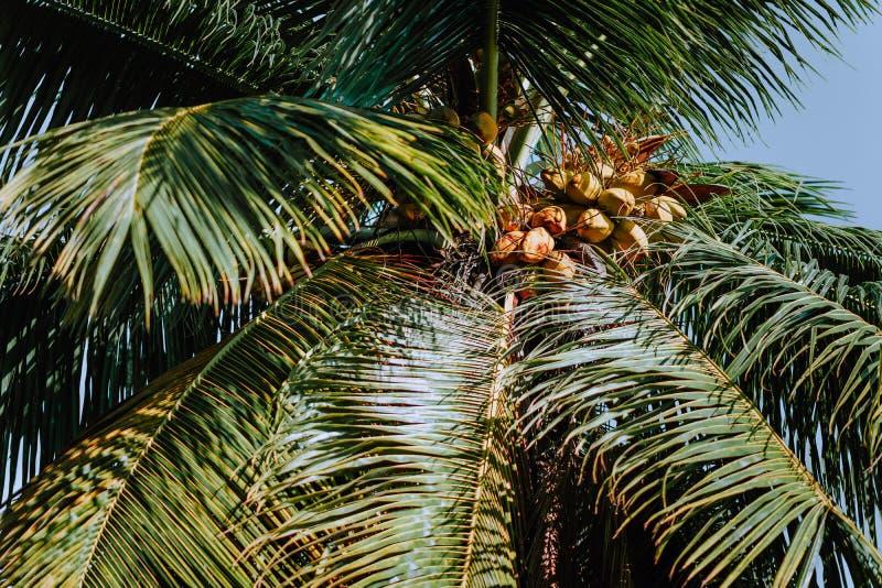 Συστάδα καρύδων στο φοίνικα, όμορφο φρέσκο φύλλο με το μπλε ουρανό υποβάθρου Τροπική βλάστηση φρούτων στοκ εικόνα με δικαίωμα ελεύθερης χρήσης