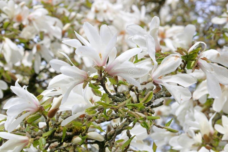Συστάδα των άσπρων ανθών δέντρων Magnolia στοκ φωτογραφίες