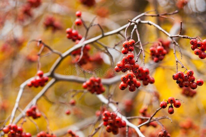 Συστάδες των κόκκινων μούρων κραταίγου στοκ φωτογραφία
