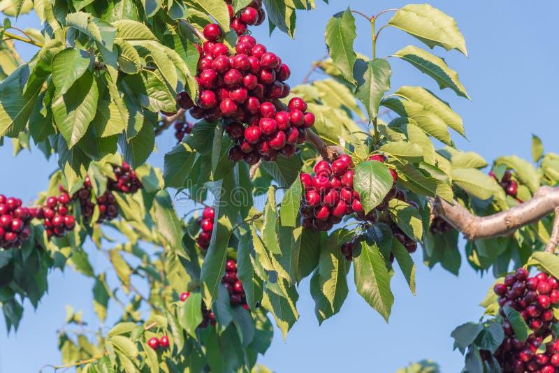 Συστάδες των ώριμων κόκκινων κερασιών στον κλάδο δέντρων με το μπλε ουρανό στο υπόβαθρο στοκ εικόνες με δικαίωμα ελεύθερης χρήσης
