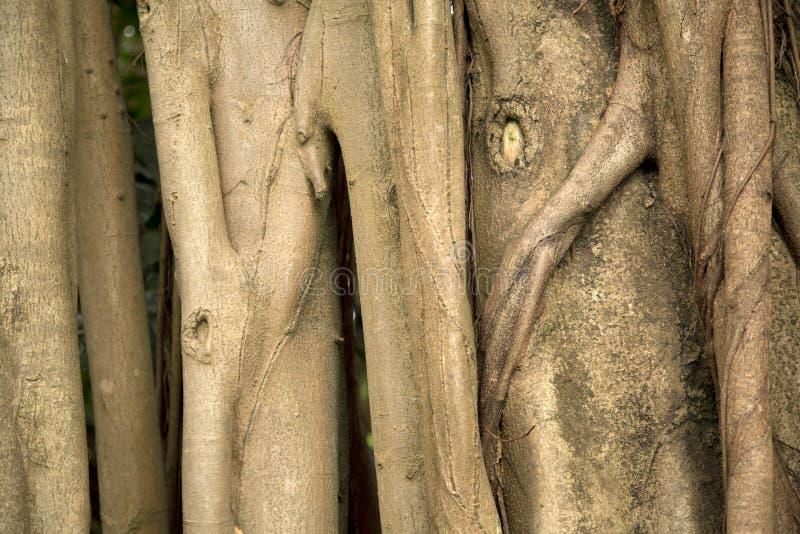 Συστάσεις altissima Ficus φορτηγών δέντρων στοκ φωτογραφία