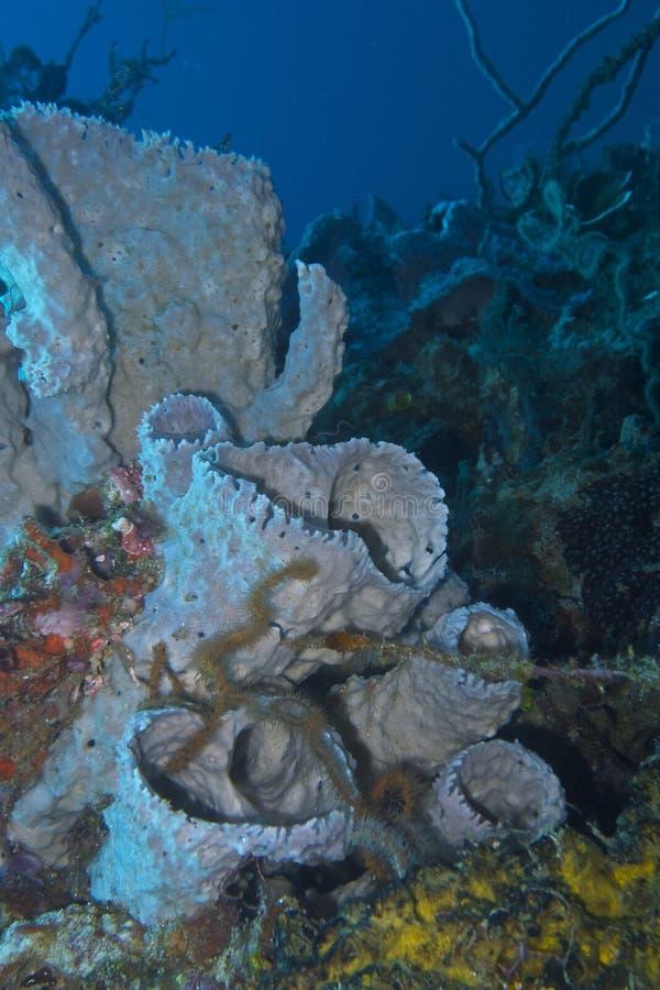Συστάδα των ασημένιων σφουγγαριών από Padre Burgos, Leyte, Φιλιππίνες στοκ φωτογραφίες
