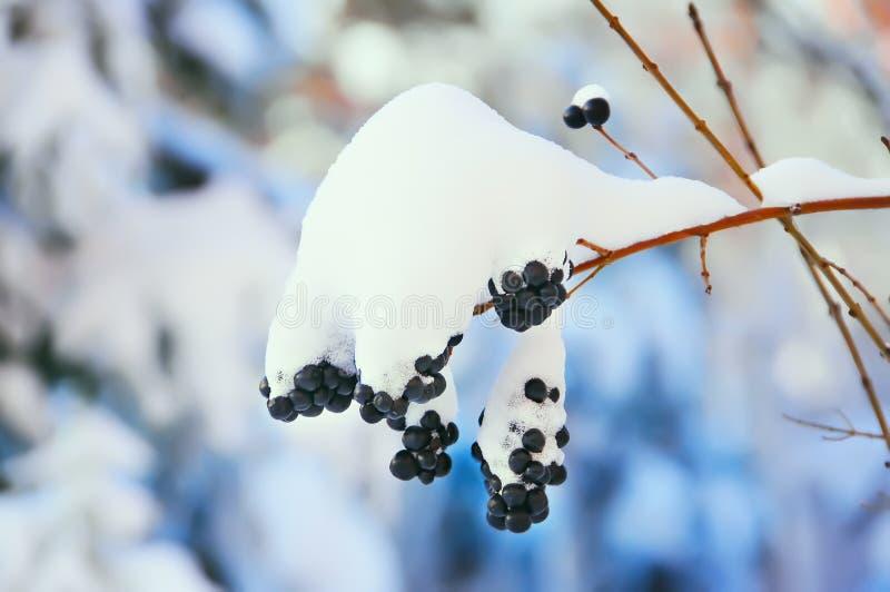 Συστάδες των μαύρων μούρων στο θάμνο που καλύπτεται με το χιόνι στοκ φωτογραφίες