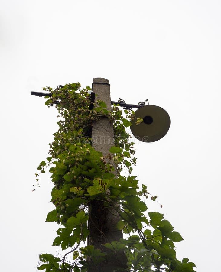 Συστροφές ενός παλαιές συγκεκριμένες lamppost γύρω από πράσινες εγκαταστάσεις αναρρίχησης στοκ εικόνες με δικαίωμα ελεύθερης χρήσης