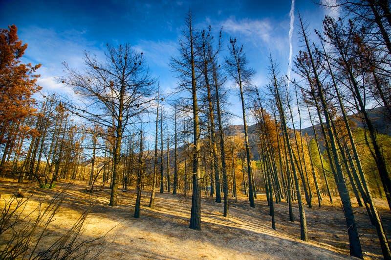 Συχνασμένο δάσος μετά από την πυρκαγιά στοκ εικόνα