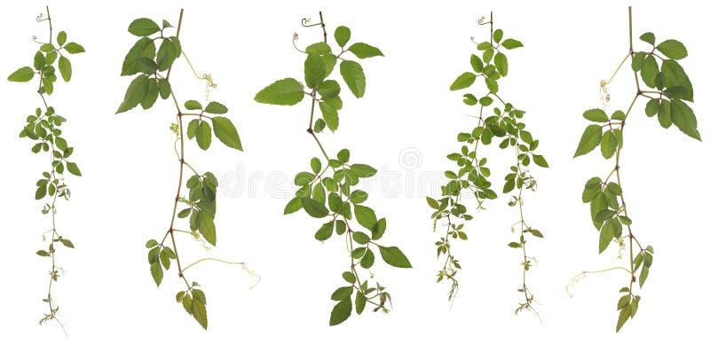 Συλλεχθε'ν Cayratia Japonica που απομονώνεται στο άσπρο υπόβαθρο στοκ φωτογραφίες