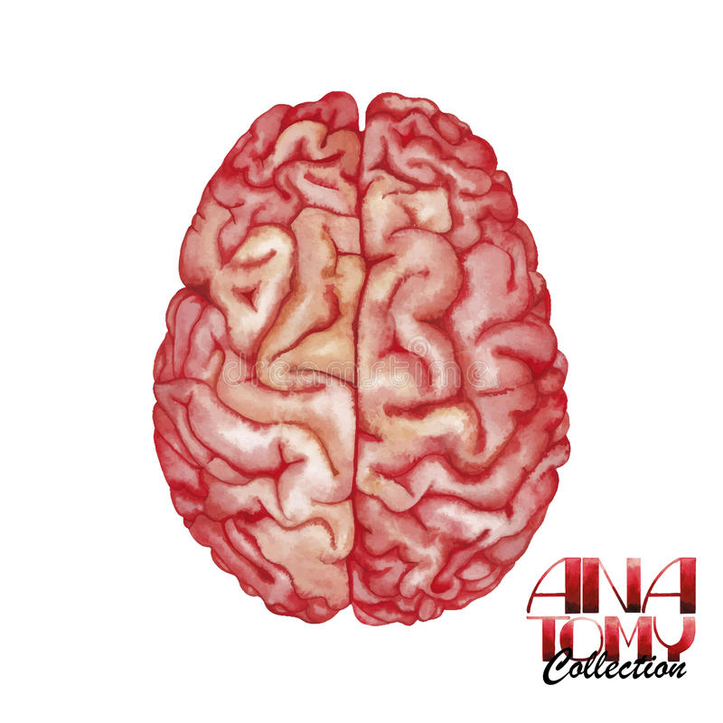 Συλλογή ανατομίας - εγκέφαλος διανυσματική απεικόνιση