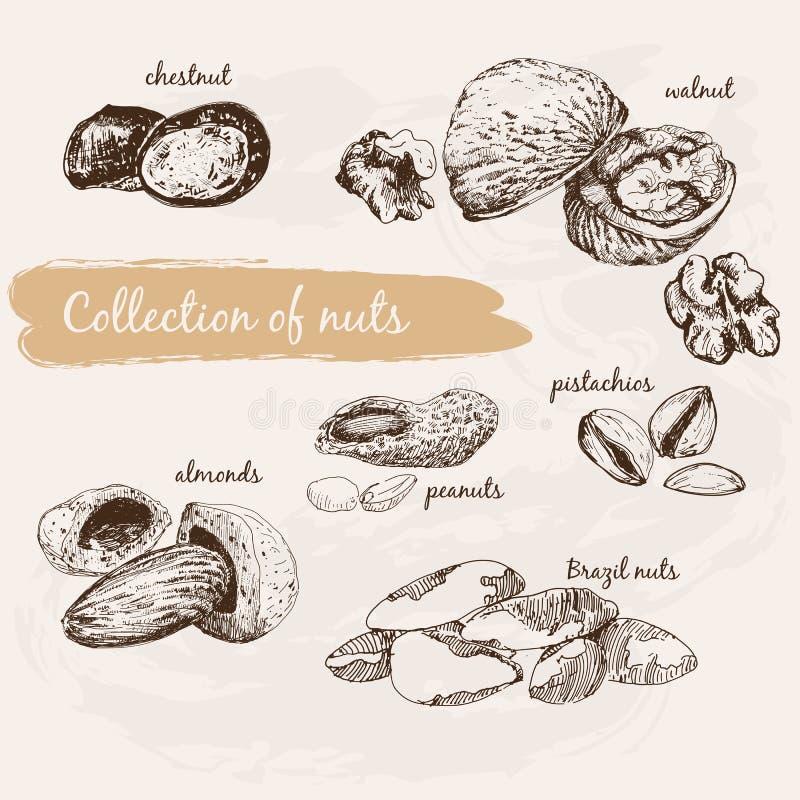 Συλλογή των καρυδιών διανυσματική απεικόνιση
