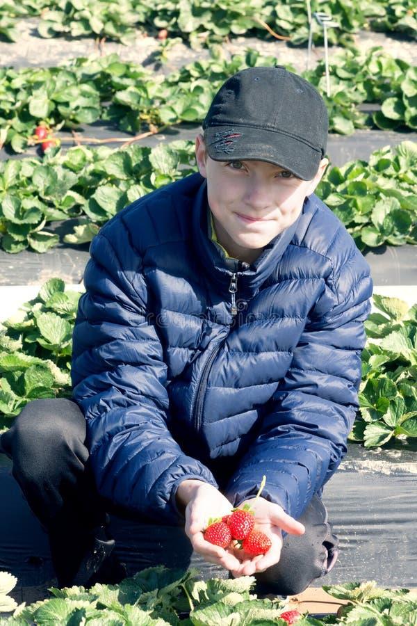 Συλλογή των πρόωρων φραουλών Έφηβος σε μια εκμετάλλευση σακακιών στοκ εικόνα