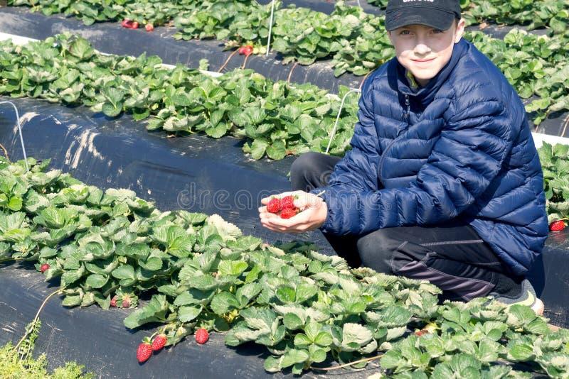 Συλλογή των πρόωρων φραουλών Αγόρι σε ένα σακάκι που κρατά ένα han στοκ εικόνα