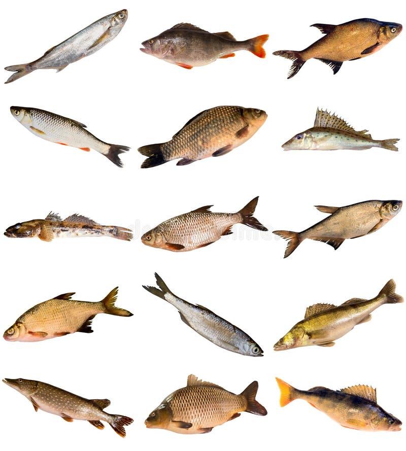 Συλλογή των ψαριών γλυκού νερού στοκ φωτογραφία