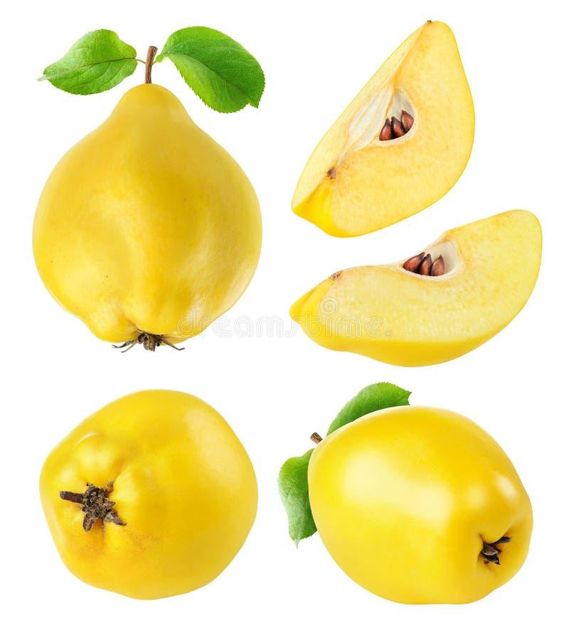 Συλλογή φρούτων κυδωνιών στοκ εικόνα με δικαίωμα ελεύθερης χρήσης