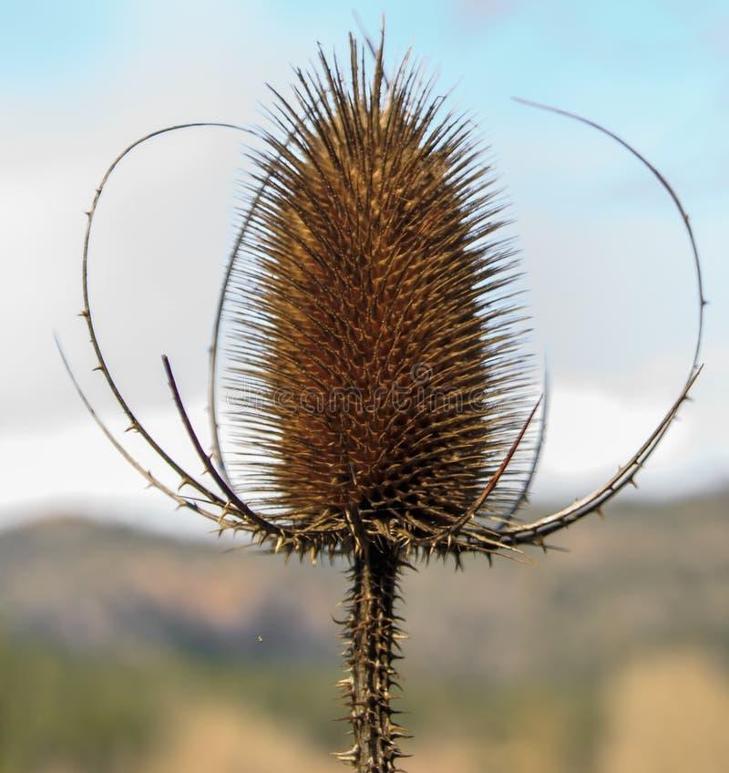 Συλλογιμένος το λουλούδι πολύ παρά τα τοποθετημένα αιχμή πέταλά του στοκ εικόνα