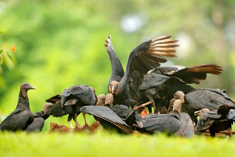 Σφάγιο με τους γύπες Άγρια φύση Παναμάς Άσχημος μαύρος μαύρος γύπας πουλιών, atratus Coragyps, που κάθεται στην πράσινη βλάστηση, στοκ φωτογραφία