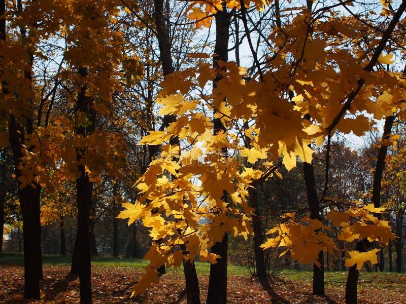 σφένδαμνος φύλλων πτώσης του Καναδά φθινοπώρου στοκ φωτογραφία