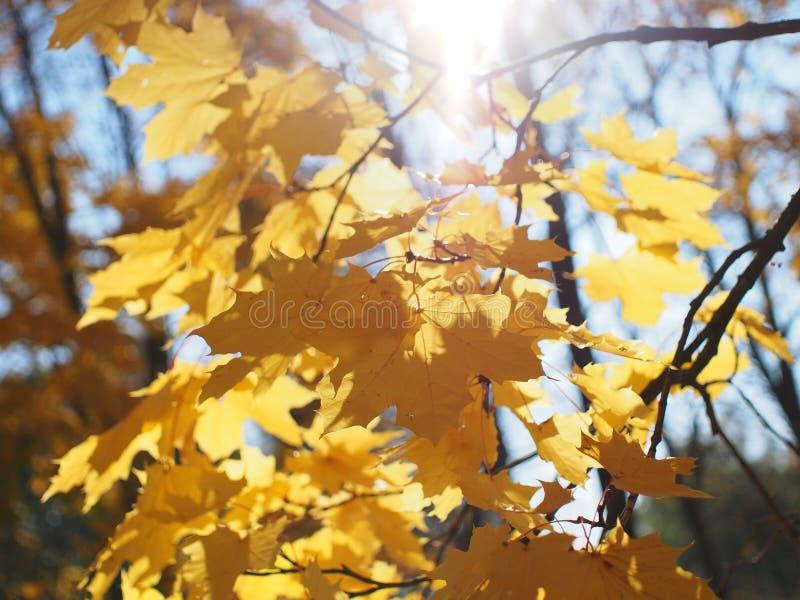 σφένδαμνος φύλλων πτώσης του Καναδά φθινοπώρου στοκ φωτογραφίες με δικαίωμα ελεύθερης χρήσης