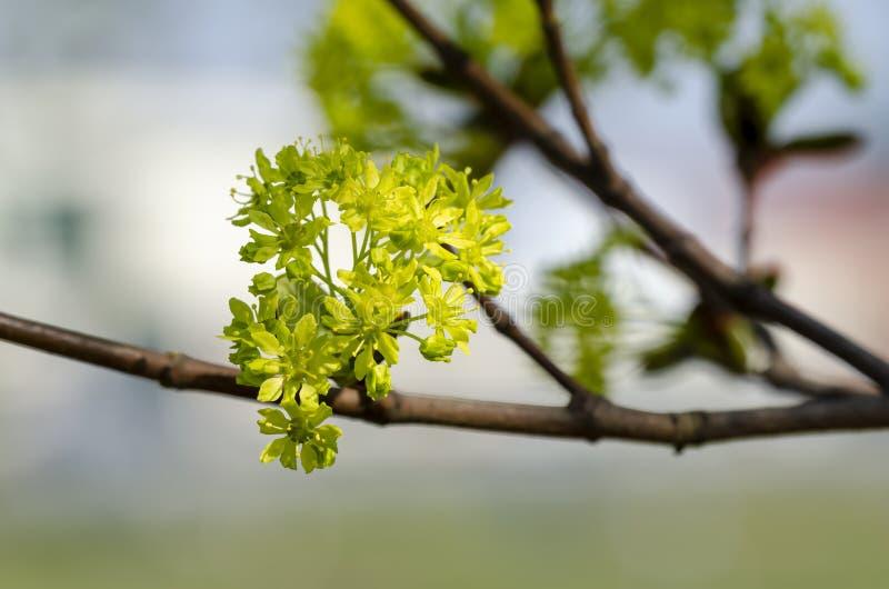Σφένδαμνος Acer της Νορβηγίας platanoides στο άνθος στοκ φωτογραφία με δικαίωμα ελεύθερης χρήσης