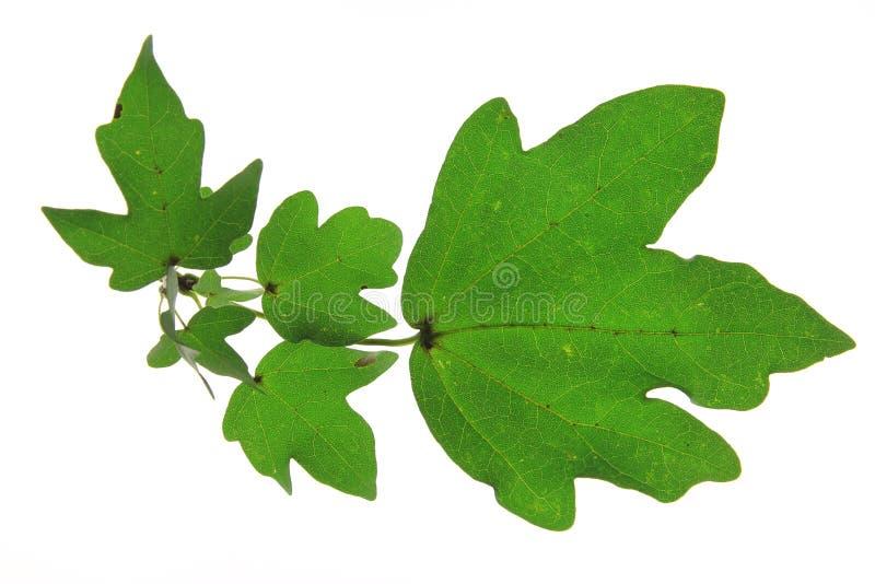Σφένδαμνος πεδίων (Acer campestre) στοκ φωτογραφία με δικαίωμα ελεύθερης χρήσης