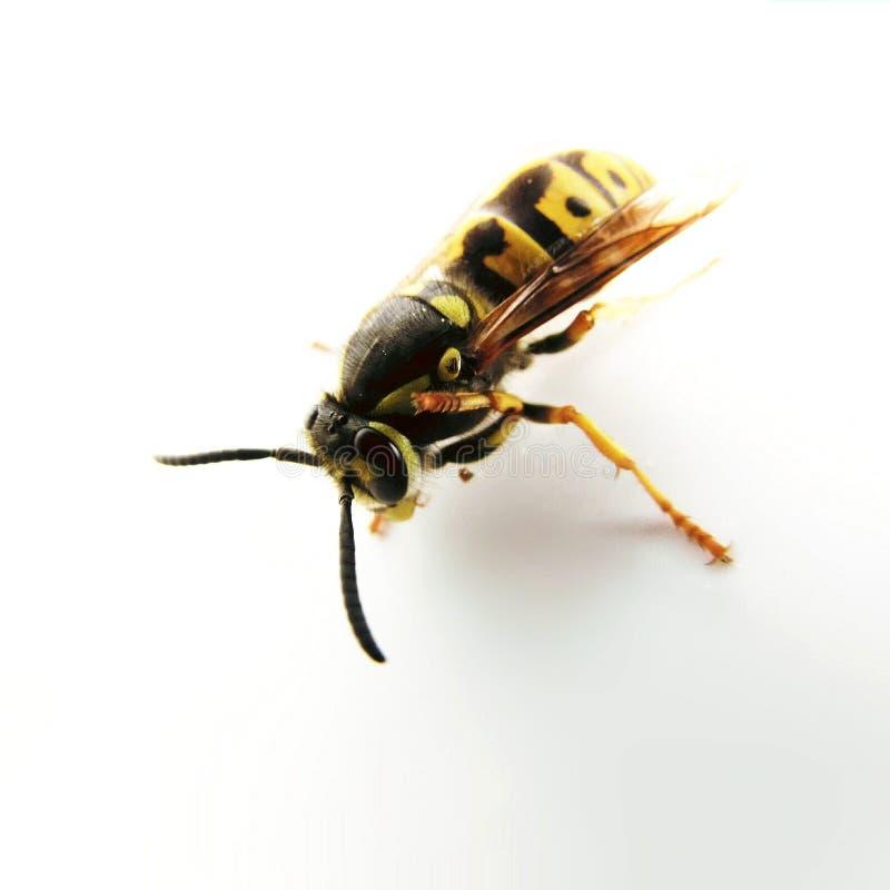 Σφήκα - μακροεντολή, φύση, λευκό, έντομο στοκ φωτογραφίες με δικαίωμα ελεύθερης χρήσης