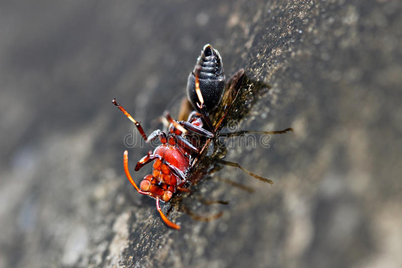 Download σφήκα στοκ εικόνα. εικόνα από απομονωμένος, έντομο, κεραιών - 22797537