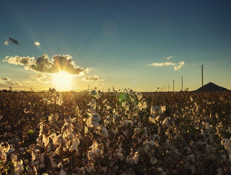 Σφαίρα βαμβακιού στην πλήρη άνθιση στο ηλιοβασίλεμα - εικόνα αγροτικών συγκομιδών γεωργίας στοκ φωτογραφία