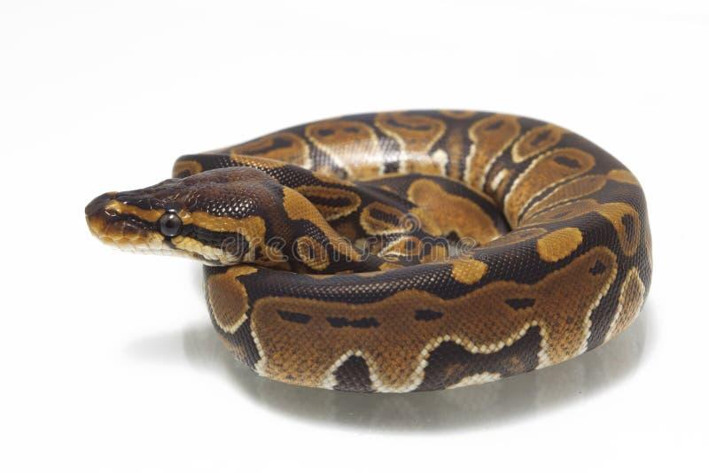 Σφαίρα python Python βασιλικό στοκ φωτογραφία με δικαίωμα ελεύθερης χρήσης