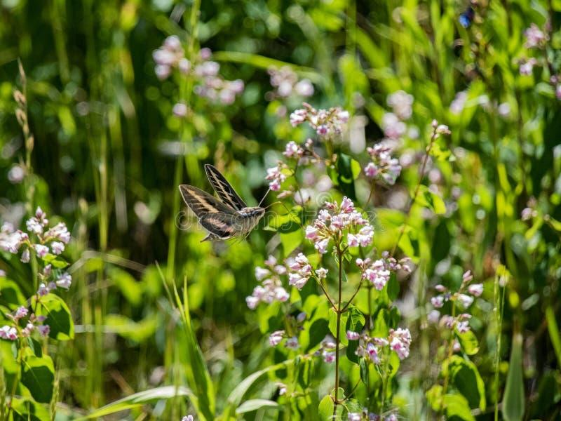 Σφηνοειδής Σφηνοειδής Σκόρος που πετούσε κοντά σε λουλούδια λιβαδιού στοκ φωτογραφία με δικαίωμα ελεύθερης χρήσης