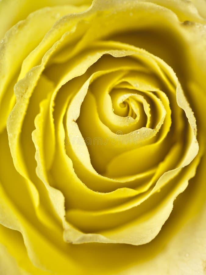 Σφιχτό πλάνο ενός κίτρινου ροδαλού κέντρου στοκ φωτογραφίες με δικαίωμα ελεύθερης χρήσης