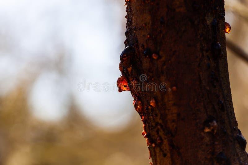 Σφρίγος δέντρων γόμμας που καίγεται στον ήλιο στοκ φωτογραφία με δικαίωμα ελεύθερης χρήσης