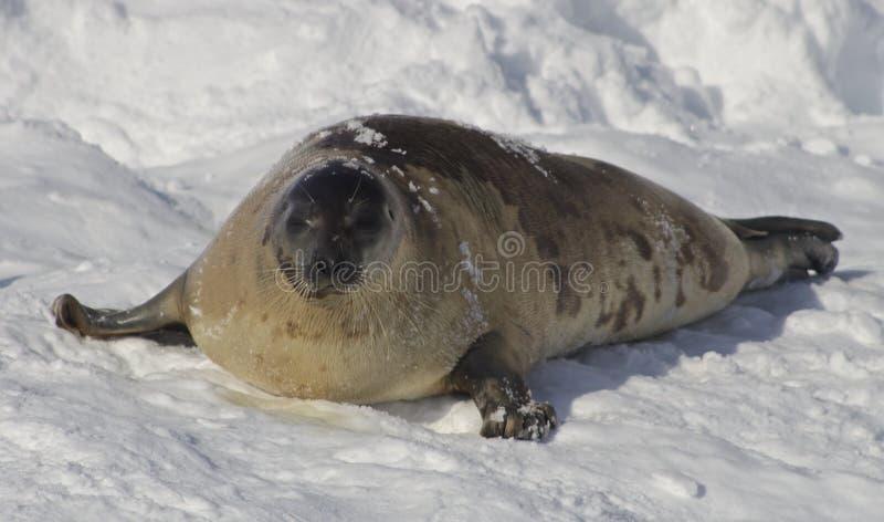 Σφραγίδα αρπών στο χιόνι, Κεμπέκ στοκ εικόνα