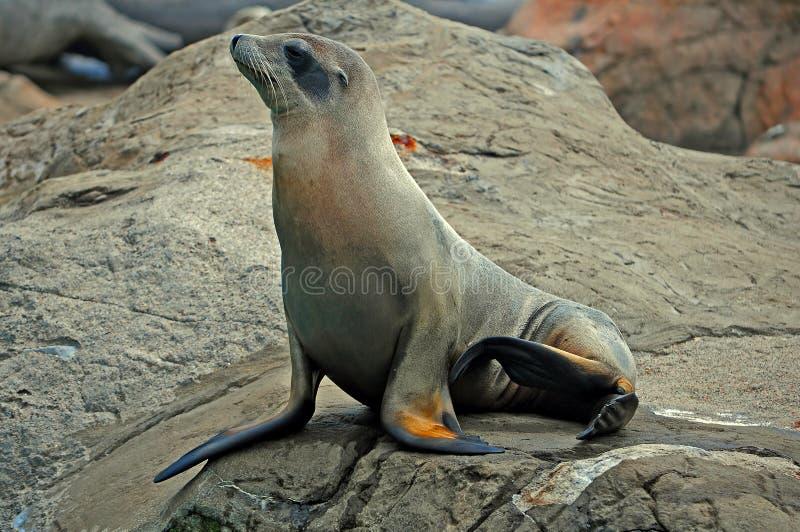 σφραγίδα βράχου στοκ φωτογραφία με δικαίωμα ελεύθερης χρήσης