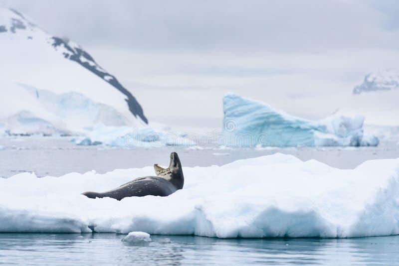 Σφραγίδα λεοπαρδάλεων που χασμουριέται και που στηρίζεται σε ένα παγό στοκ εικόνες
