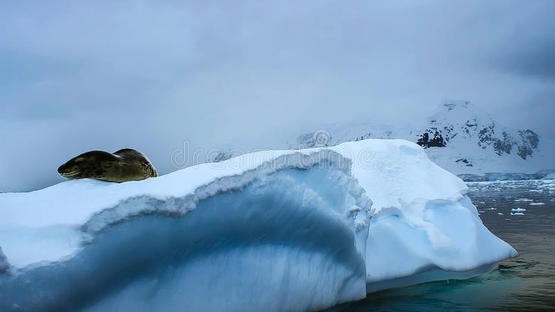 Σφραγίδα Hydrurga λεοπαρδάλεων leptonyx, ανταρκτική χερσόνησος στοκ φωτογραφίες
