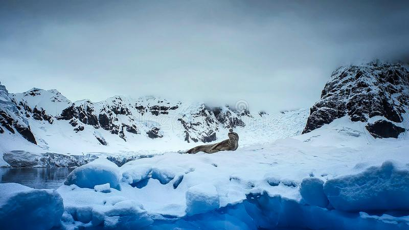 Σφραγίδα Hydrurga λεοπαρδάλεων leptonyx, ανταρκτική χερσόνησος στοκ φωτογραφία