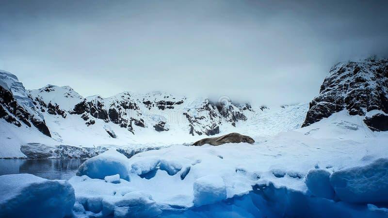 Σφραγίδα Hydrurga λεοπαρδάλεων leptonyx, ανταρκτική χερσόνησος στοκ φωτογραφία με δικαίωμα ελεύθερης χρήσης
