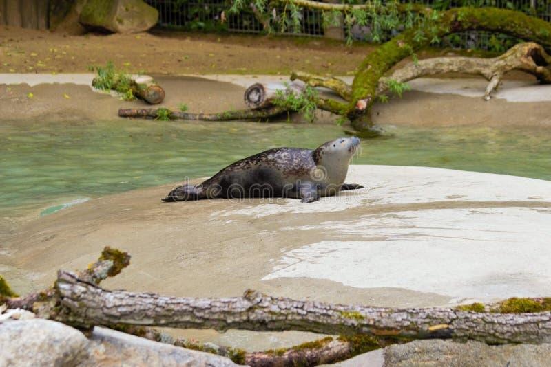 Σφραγίδα sunbath στο ζωολογικό κήπο στο Άουγκσμπουργκ στη Γερμανία στοκ φωτογραφίες με δικαίωμα ελεύθερης χρήσης