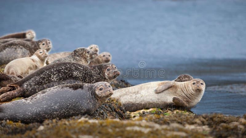 Σφραγίδες που στηρίζονται σε έναν βράχο στην ακτή στοκ εικόνα με δικαίωμα ελεύθερης χρήσης