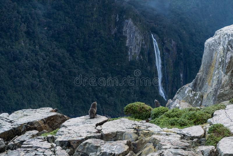 Σφραγίδες στους βράχους και τα βουνά και σύννεφα στον ήχο Milford, Νέα Ζηλανδία με τον καταρράκτη στο υπόβαθρο στοκ εικόνες με δικαίωμα ελεύθερης χρήσης