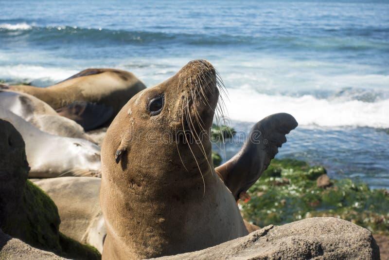 Σφραγίδα μωρών λιονταριών θάλασσας - κουτάβι στην παραλία, Λα Χόγια, Καλιφόρνια στοκ φωτογραφίες