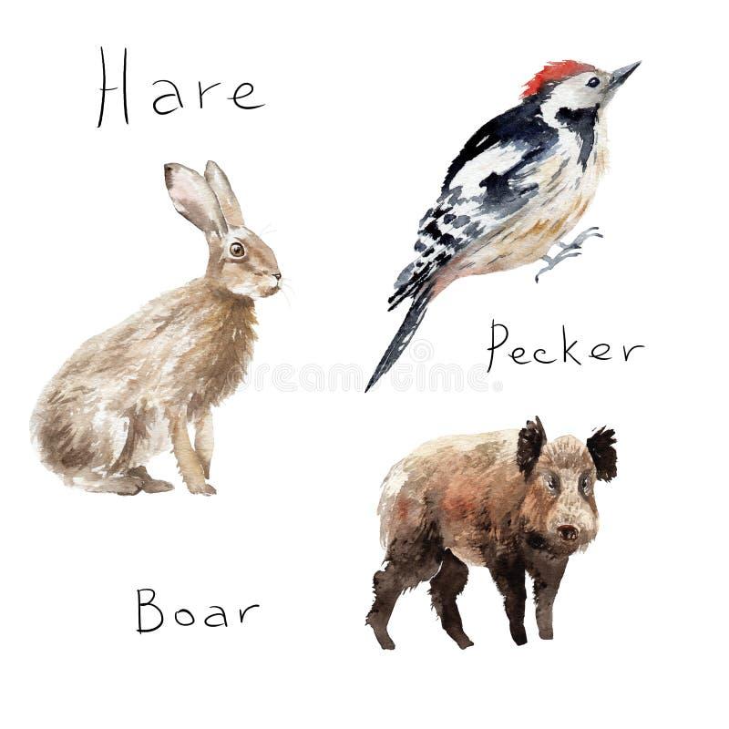 Σχέδια Watercolor των δασικών ζώων: λαγοί, κουνέλι, δρυοκολάπτης, άγριος κάπρος διανυσματική απεικόνιση