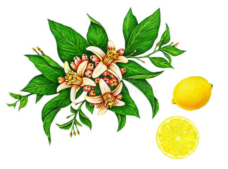 Σχέδια Watercolor των όμορφων κίτρινων φρούτων λεμονιών σε έναν κλάδο με τα πράσινα φύλλα και τα λουλούδια που απομονώνονται στο  ελεύθερη απεικόνιση δικαιώματος