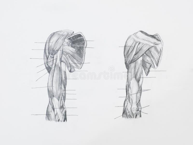 Σχέδιο μολυβιών μυών ώμων στοκ εικόνες