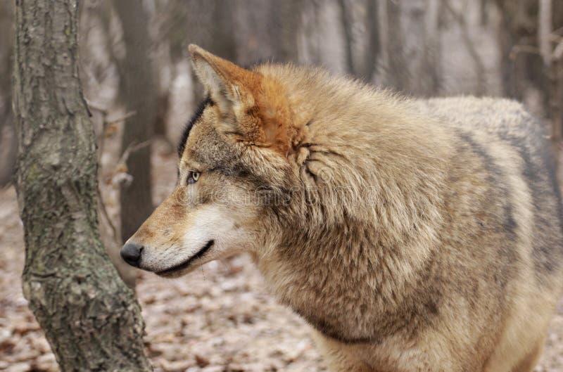 Σχεδιάγραμμα λύκων στοκ φωτογραφίες με δικαίωμα ελεύθερης χρήσης